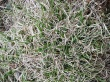 Danthonia spicata.jpeg