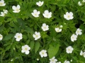 Anemone canadensis.jpeg