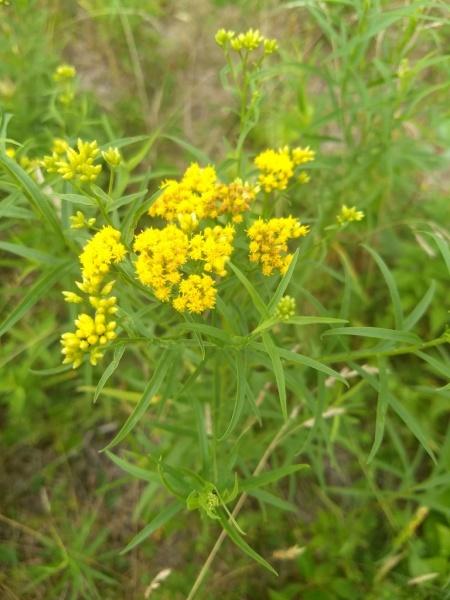 File:Euthamia graminifolia.jpg