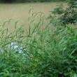 Elymus riparius.jpg