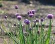 Allium John.jpeg