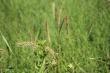 Elymus virginicus.jpeg