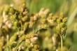 Carex bebbii.jpg