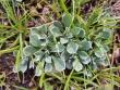 Antennaria parvifolia.jpeg
