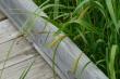 Carex lacustris.jpeg