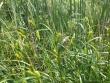 Carex atherodes.jpeg